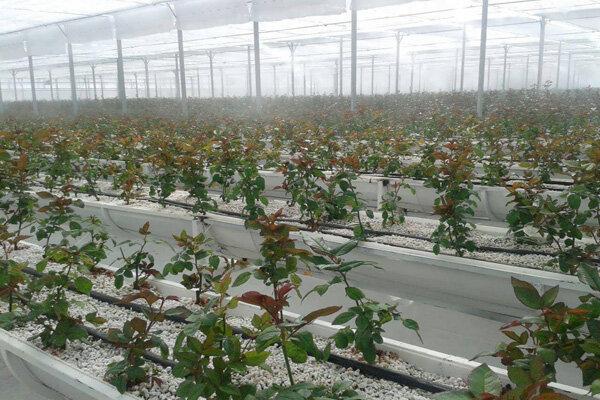 افتتاح گلخانه هیدروپونیک با ظرفیت تولید سالانه ۹۰۰۰ شاخه گل