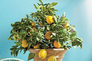 به راحتی در گلدان میوه بکارید