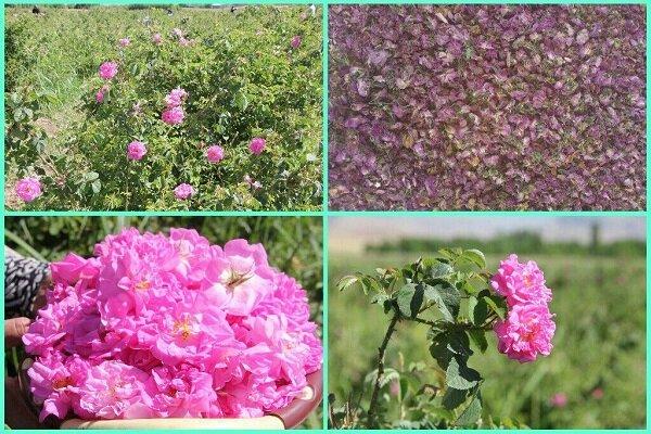 لرستان در وقت گل و گلاب؛ ظرفیت درآمد و اشتغال عطر و بوی میلیونی!