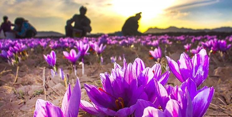 آغاز برداشت زعفران از سطح ۱۶۰ هکتار از مزارع خرمآباد