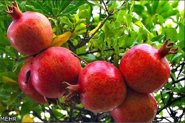 سالانه ۳۰ هزار تُن انار از باغات «تنگ سیاب» برداشت میشود