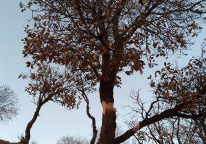 عامل آسیب به درخت ۴۵۰ ساله «ویردار» دستگیر شد