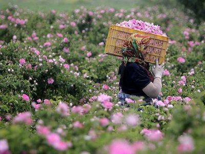 برداشت گلستان در اقلیم لرستان/انقلاب اقتصاد کشاورزی با کاشت درختچه بهشتی