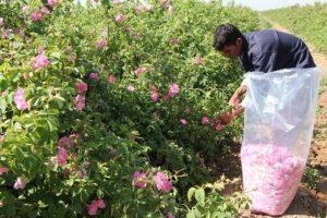 156353750 | برداشت گلستان در اقلیم لرستان/انقلاب اقتصاد کشاورزی با کاشت درختچه بهشتی | امید لرستان